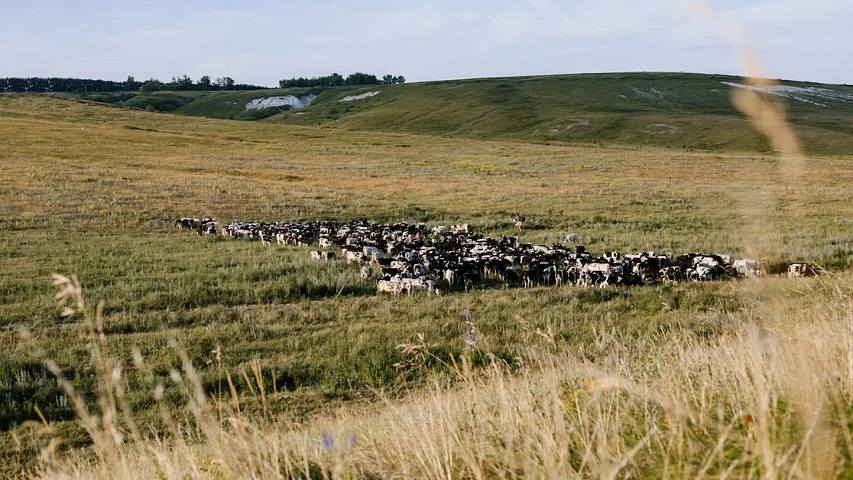 Cows in open pasture